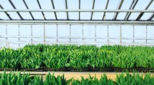 Industrial Cultivation of tulips in big greenhouse  perspective background